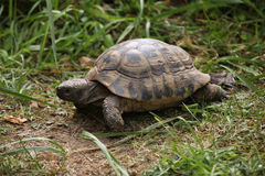 Russian tortoise (Agrionemys horsfieldii). Royalty Free Stock Photo