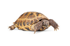 Russian Tortoise Crawling On White Stock Photography