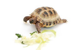 Russian tortoise eating cabbage Royalty Free Stock Photography