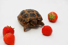 Russian tortoise and a few strawberry Stock Image