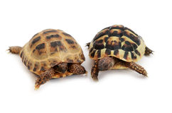 Russian tortoise and Hermann's tortoise on white Royalty Free Stock Image
