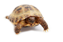 Russian tortoise, Horsfields tortoise Stock Photography