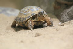 Russian tortoise Stock Photo