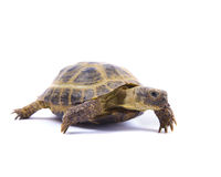 Russian Tortoise on White Royalty Free Stock Photography
