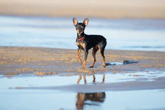 Russian toy dog posing on the beach. Black russian toy dog on the beach royalty free stock photography