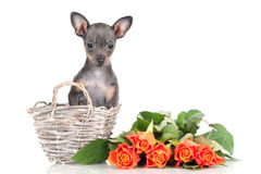Russian toy dog puppy in a basket with roses Royalty Free Stock Image