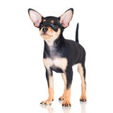 Russian toy dog puppy Royalty Free Stock Photo