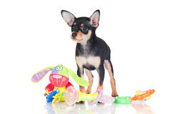 Russian toy dog puppy Stock Image