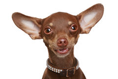 Russian toy terrier Royalty Free Stock Photo