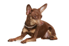Russian toy terrier Stock Image
