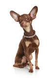 Russian toy terrier. Royalty Free Stock Photo