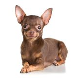 Russian toy terrier Royalty Free Stock Photos
