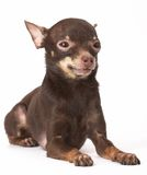 Russian toy-terrier Stock Images