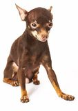 Russian toy-terrier Stock Photography