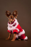 Russian toy terrier. Puppy on dark brown background Stock Photography