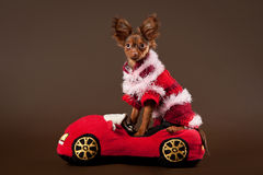 Russian toy terrier. Puppy on dark brown background Royalty Free Stock Photos
