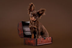 Russian toy terrier. Puppy on dark brown background Royalty Free Stock Photo