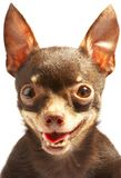 Russian toy-terrier. Royalty Free Stock Photography