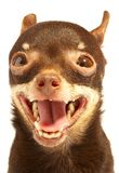 Russian toy-terrier. Stock Photos