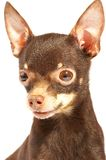 Russian toy-terrier. Stock Photo