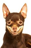 Russian toy-terrier. Stock Images