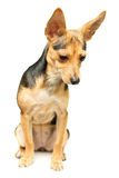 Russian Toy Terrier Stock Photos