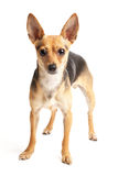 Russian toy-terrier. Portrait of small doggy (toy-terrier) on white Royalty Free Stock Images