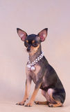 Russian Toy Terrier Stock Photography