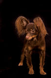 Russian toy terrier Royalty Free Stock Photography
