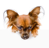 Russian toy terrier above white banner looking down.  on Stock Photo