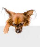 Russian toy terrier above white banner looking down. isolated Stock Photos