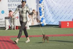 Russian toy terrier accompanied by a handler in the ring. royalty free stock photography