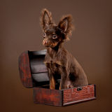Russian toy terrier in box. Russian toy terrier puppy on dark brown background Royalty Free Stock Photo