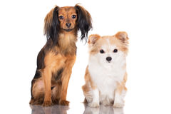Russian toy terrier and chihuahua dogs Royalty Free Stock Images