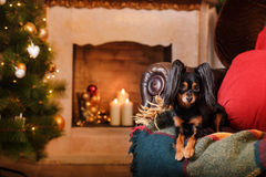 Russian Toy Terrier, Christmas and New Year Royalty Free Stock Images