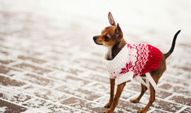 Russian toy terrier in a city park in the winter. Stock Images