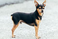 Russian toy-terrier. Close up Royalty Free Stock Photo