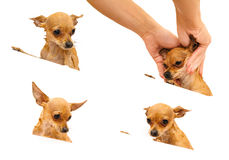 Russian Toy Terrier. Royalty Free Stock Images