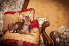 Russian toy terrier dog. Russian toy terrier is a companion dog. Their height (in withers) can vary from 8 to 10 inches (19-29 cm.) with a weight anywhere from 3 royalty free stock image