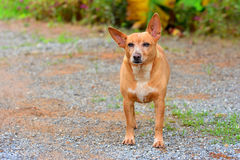 Russian Toy Terrier dog. The Russian Toy Terrier dog look with purpose and Unwavering, copy space Royalty Free Stock Photography
