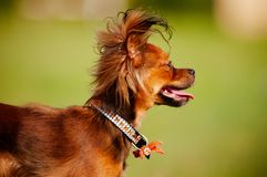 Russian toy terrier dog portrait Stock Photography