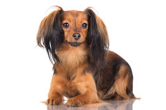 Russian toy terrier dog Royalty Free Stock Images