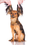 Russian toy terrier dog Royalty Free Stock Photo