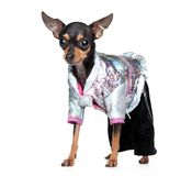 Russian toy terrier in fashionable overalls Royalty Free Stock Images