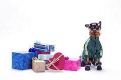 Russian toy-terrier and heap of gift boxes. Royalty Free Stock Photo