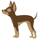 Russian toy terrier Royalty Free Stock Image