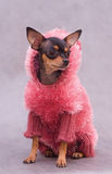Russian Toy Terrier In Clothes Stock Photo