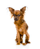 Russian toy terrier with an injured leg. isolated on white background stock image