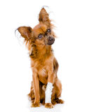 Russian toy terrier with an injured leg.  on white Royalty Free Stock Photo