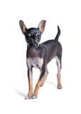 Russian toy terrier. Isolated on a white background Royalty Free Stock Photo